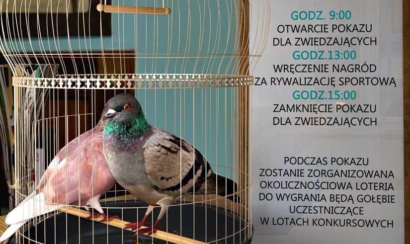 Pokaz Gołębi